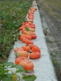 """Cinderella"" pumpkin variety lined up in the field royalty free stock image"