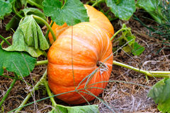 Cinderella Pumpkins Stock Photos