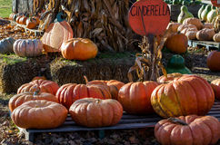 Cinderella pumpkins. Large decorative pumpkins called cinderella pumpkins, sit for sale at a michigan pumpkin farm... so named because they look like the Stock Photo