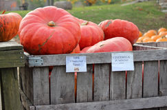 Cinderella Pumpkins Royalty Free Stock Images
