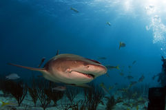Cindy the Lemon Shark. Cindy is easily identified by a deformation at the corner of her mouth Royalty Free Stock Image