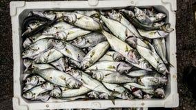 Cinekop / Sarikanat fish with ice in styrofoam box. Seafood concept Royalty Free Stock Images