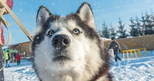 Cinemagraph, 4k,与狗的冬天美丽的画象的落的雪,圈 影视素材
