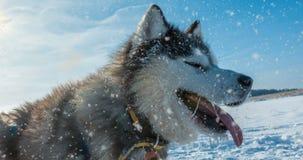 Cinemagraph, 4k,与狗的冬天美丽的画象的落的雪,圈 股票录像