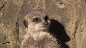 Cinemagraph av en vaken meerkat, Suricatasuricatta som står på vakten arkivfilmer