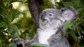 Cinemagraph of a cute Australian Koala. Cinemagraph of a cute Australian Koala in a tree eating stock video footage