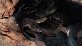 Cinemagraph de la jerarquía de serpientes con rey negro Cobras almacen de metraje de vídeo