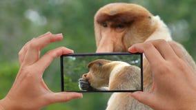 Cinemagraph de tomar la foto del larvatus masculino del Nasalis del mono de probóscide almacen de metraje de vídeo