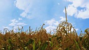 Cinemagraph del campo de maíz con las nubes blancas de mudanza en el cielo azul metrajes