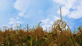 Cinemagraph del campo de maíz con las nubes blancas de mudanza en el cielo azul almacen de video