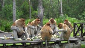 Cinemagraph del grupo de larvatus del Nasalis del mono de probóscide que come en forma del ala en proyección horizontal de alimen almacen de metraje de vídeo