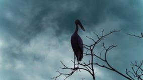 Cinemagraph des Schattenbildes von Asiat Openbill-Vögel Anastomus oscitans, die auf Baum bei Thale Noi Waterfowl Reserve sitzen stock video
