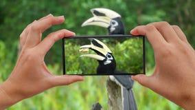 Cinemagraph di presa della foto dei albirostris pezzati orientali di Anthracoceros del bucero Uccello endemico pericoloso del Bor archivi video