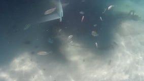 Cinemagraph-Effekt mit bewegungslosem Marinehintergrund und dem tropischen Fischbewegen stock footage