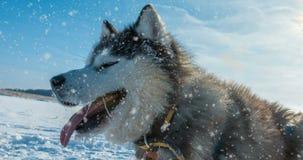 Cinemagraph, 4k, neige en baisse avec un beau portrait d'hiver d'un chien, boucle banque de vidéos