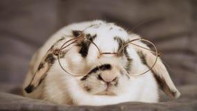 Cinemagraph karłowaty królik z szkłami zbiory wideo