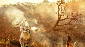 Australian koala wildlife in the fire cinemagraph