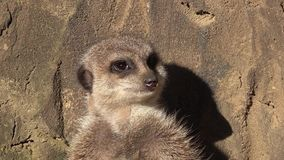 Cinemagraph raźny meerkat, Suricata suricatta, stoi na strażniku zbiory