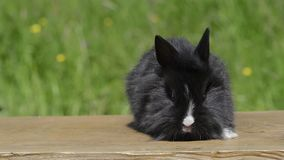 Cinemagraph of a rabbit. Cinemagraph black rabbit moves its nose, in the background the grasses are weighing in the wind stock video footage