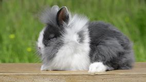 Cinemagraph of a rabbit. Cinemagraph from a rabbit whose coat is blowing in the wind stock video