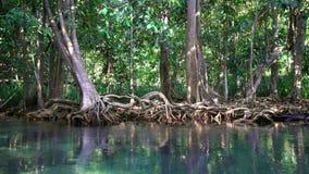 Cinemagraph Szmaragdowy basenu i mangrowe lasu Pa Phru Tha Pom Khlong Pieśniowy Nam w Krabi prowinci, Tajlandia zbiory