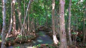 Cinemagraph Szmaragdowy basenu i mangrowe lasu Pa Phru Tha Pom Khlong Pieśniowy Nam w Krabi prowinci, Tajlandia zdjęcie wideo