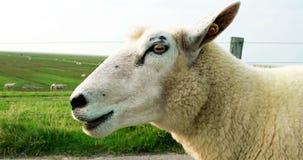 Cinematógrafo de ovejas en un dique