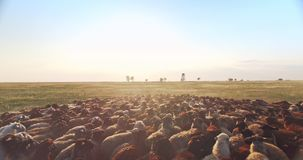 Cinematic aerial drone scene close over flock of sheep in Ukrainian prairie steppe at sunset. Cinematic aerial drone scene very close over flock of sheep in stock video
