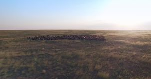 Cinematic aerial drone view of sheep in Ukrainian prairie steppe at sunset stock video
