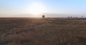 Cinematic aerial view from drone of a single tree in the field at golder hour sunset stock video footage