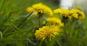 Cinematic closeup of a Dandelion. Shot in 4K RAW on a cinema camera stock video footage