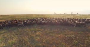Cinematic die luchthommelmening van troep van schapen in Oekraïense prairiesteppe cirkelen stock videobeelden