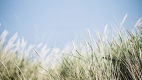 Cinematic 4k UHD Netherlands dunes with typical blade grass waving in wind stock video