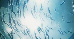 Cinematic portrait of fish swimming overhead. Cinematic portrait of A school of fish swimming overhead. 4K UHD stock footage