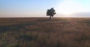 Cinematicsatellietbeeld van enige boom op het gebied bij de zonsondergang van het golderuur stock videobeelden
