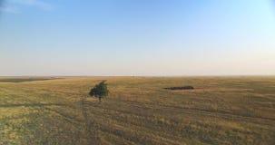 Cinematicsatellietbeeld van enige boom op het gebied bij zonsondergang stock videobeelden