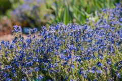Cinera blu del Veronica, fiore di Ash Colored Speedwell fotografia stock libera da diritti