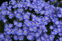 Cineraria Royalty Free Stock Photos