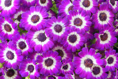 Cineraria Stock Images