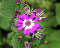 Cineraria. Florist's , Pericallis hybrida,  hybrida, Senecio hybridus, Ornamental herb with large nearly circular leaves and purple, blue, pink heads usually royalty free stock photography