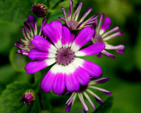 Cineraria. Florist's , Pericallis hybrida,  hybrida, Senecio hybridus, Ornamental herb with large nearly circular leaves and purple, blue, pink heads usually royalty free stock images