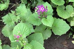 Cineraria. Florist's , Pericallis hybrida,  hybrida, Senecio hybridus, Ornamental herb with large nearly circular leaves and purple, blue, pink heads stock image