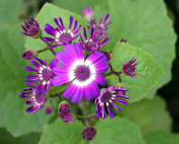 Cineraria. Florist's , Pericallis hybrida,  hybrida, Senecio hybridus, Ornamental herb with large nearly circular leaves and purple, blue, pink heads usually stock photography