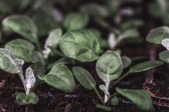Cineraria che semina, foglie verdi, macro foto, fuoco selettivo Coltivazione delle piante per il giardinaggio decorativo Fotografie Stock Libere da Diritti