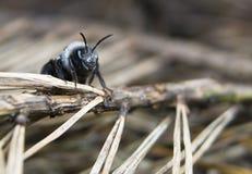 Cineraria de Andrena Fotos de archivo