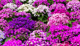 Cineraria field Stock Photography