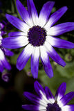 Cineraria Flower Closeup Royalty Free Stock Image