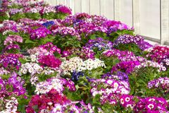 Cineraria flowers Royalty Free Stock Image