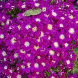 Cineraria flowers bouquet closeup Stock Images