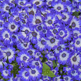 Cineraria flowers bouquet closeup Stock Photos